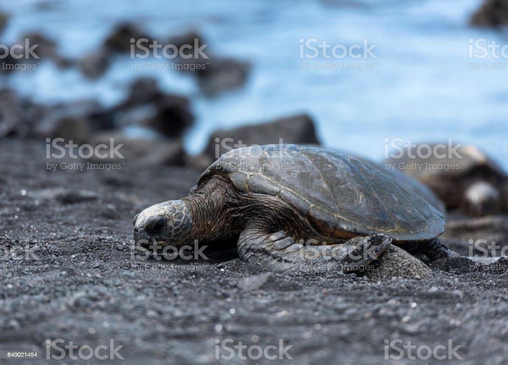 Turtle of Black Sand Beach stock photo