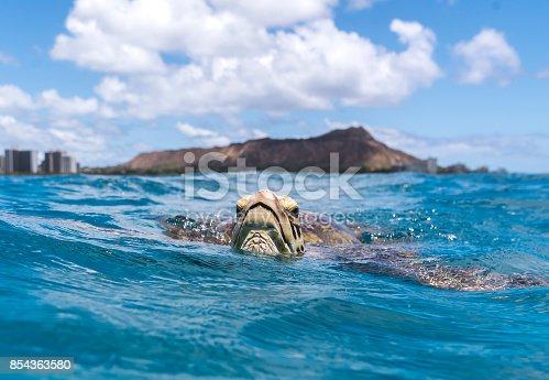 Sea Turtle, Waikiki Beach Hawaii