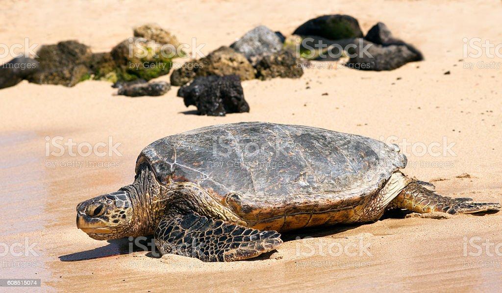 Turtle on a beach stock photo