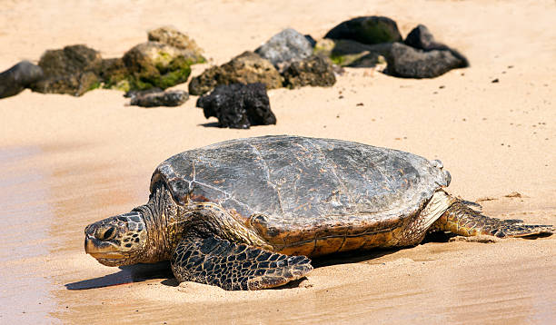turtle on a beach - tartaruga comune foto e immagini stock