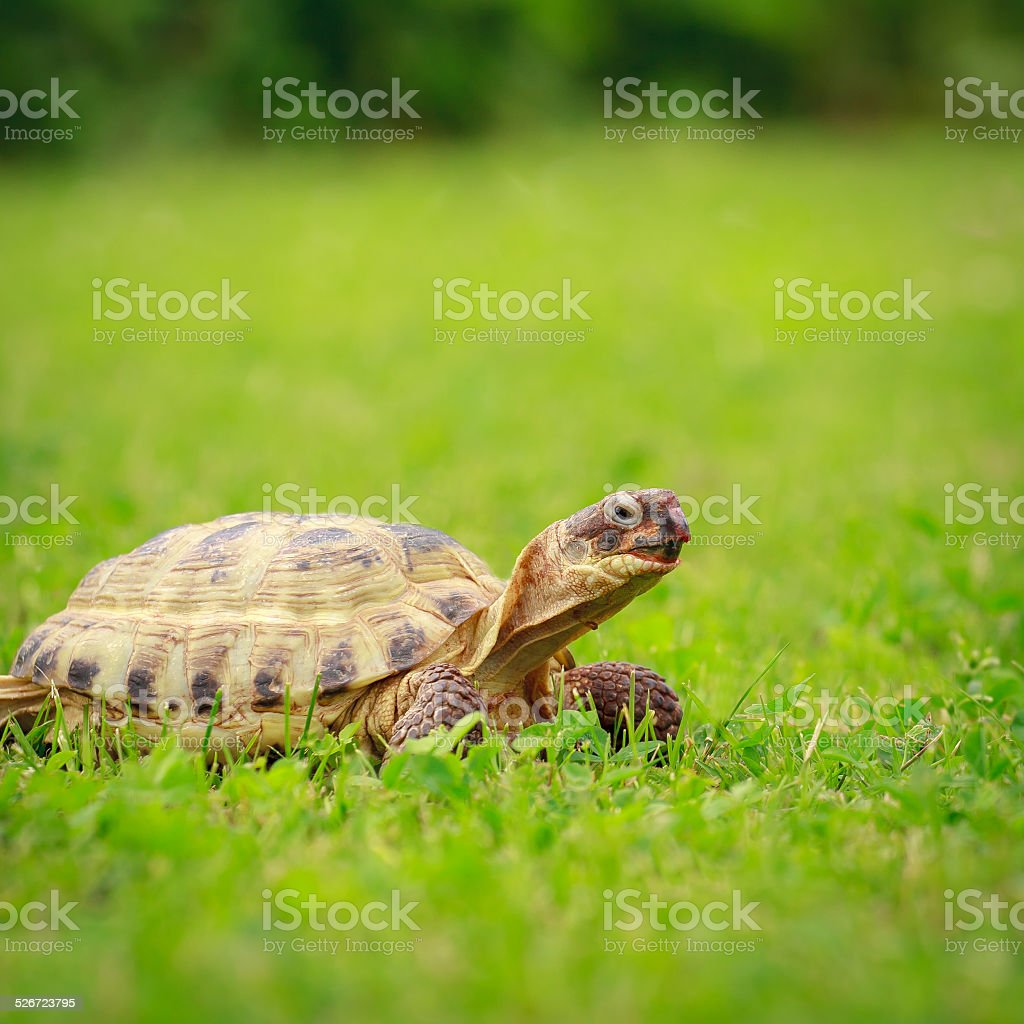 Turtle on a grass stock photo