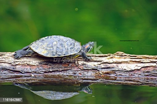 A turtle sitting on a log creates a reflection in the green waters of the pond.   The woods provide a green backdrop for the turtle.