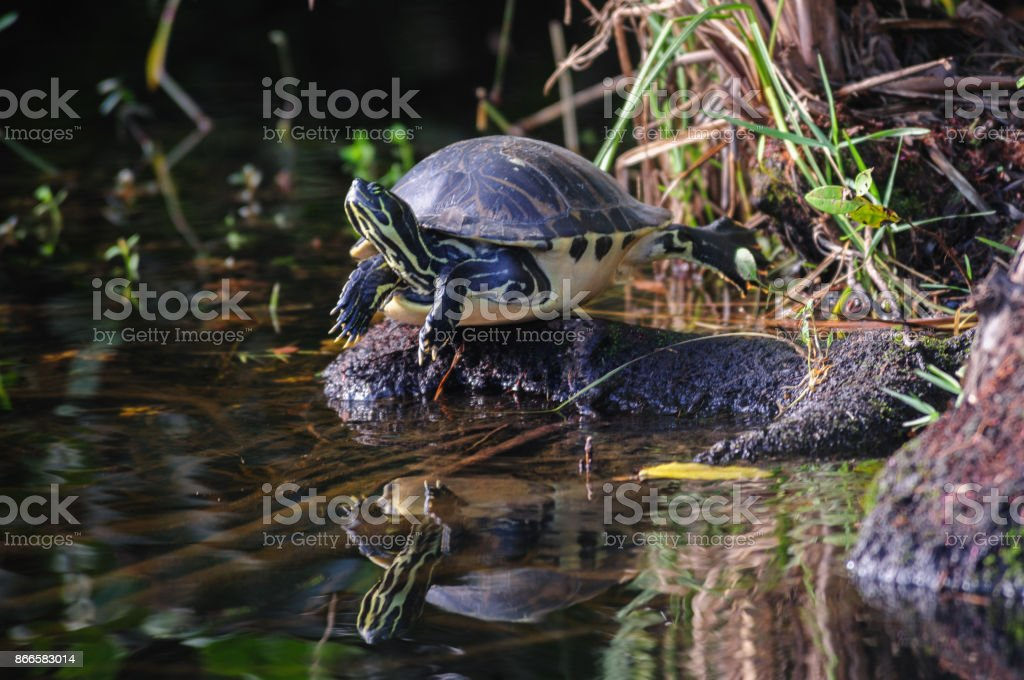 Turtle on a log stock photo