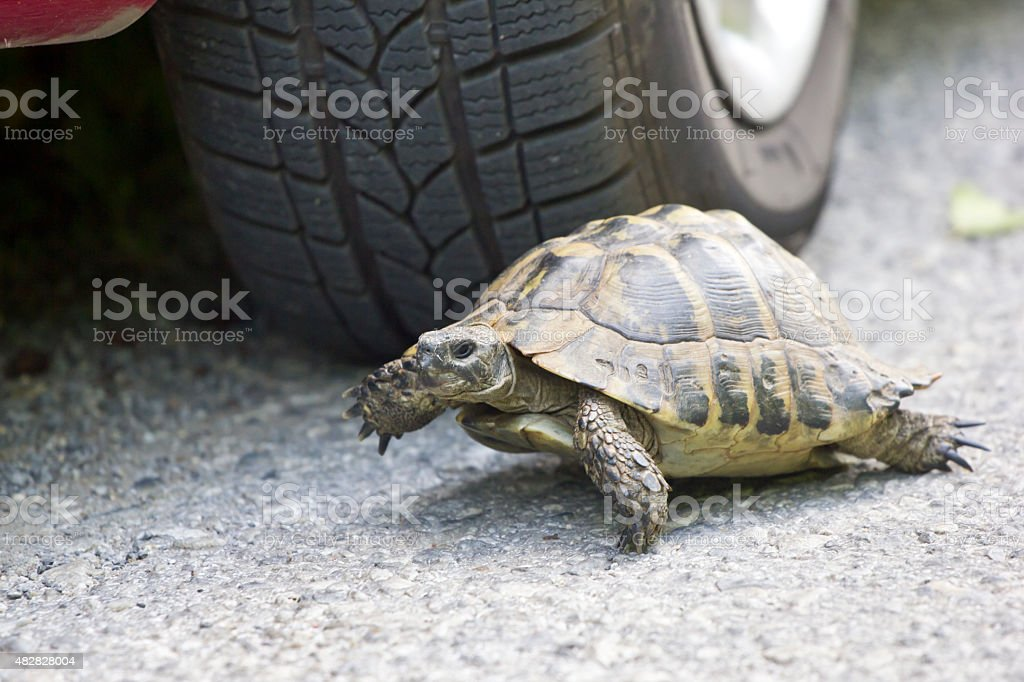 turtle on asphalt road in front of vehicle stock photo