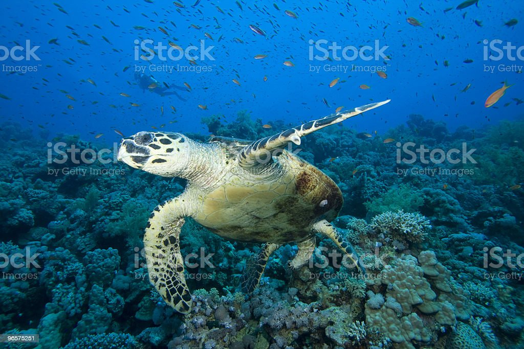 Turtle on coral reef with diver - Royalty-free Achtergrond - Thema Stockfoto