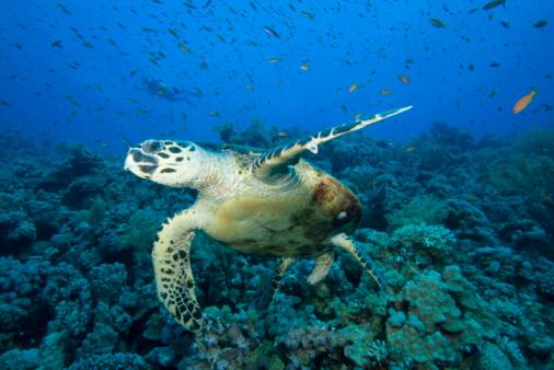 Turtle On Coral Reef With Diver Stockfoto en meer beelden van Achtergrond - Thema