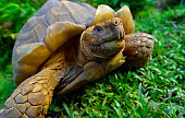 A giant turtle tortoise relaxing in green grass, Santa Cruz Island, Galapagos, Ecuador