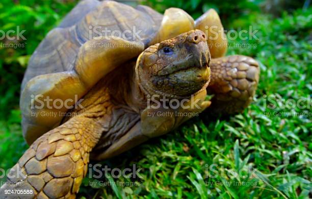 Turtle on green grass picture id924705588?b=1&k=6&m=924705588&s=612x612&h=ew5nsrz1nja1rdcjzv6kkmxjobgzuystadrulz uais=