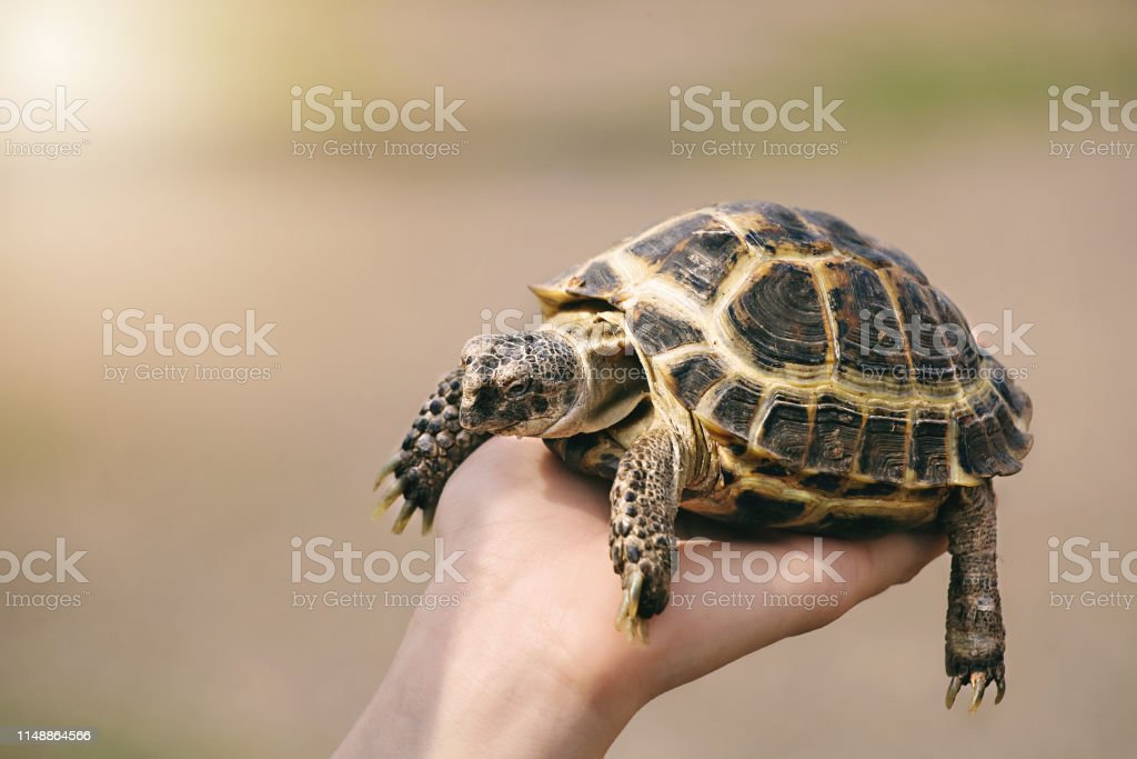 turtle on hand close up. The concept of human friendship with the...