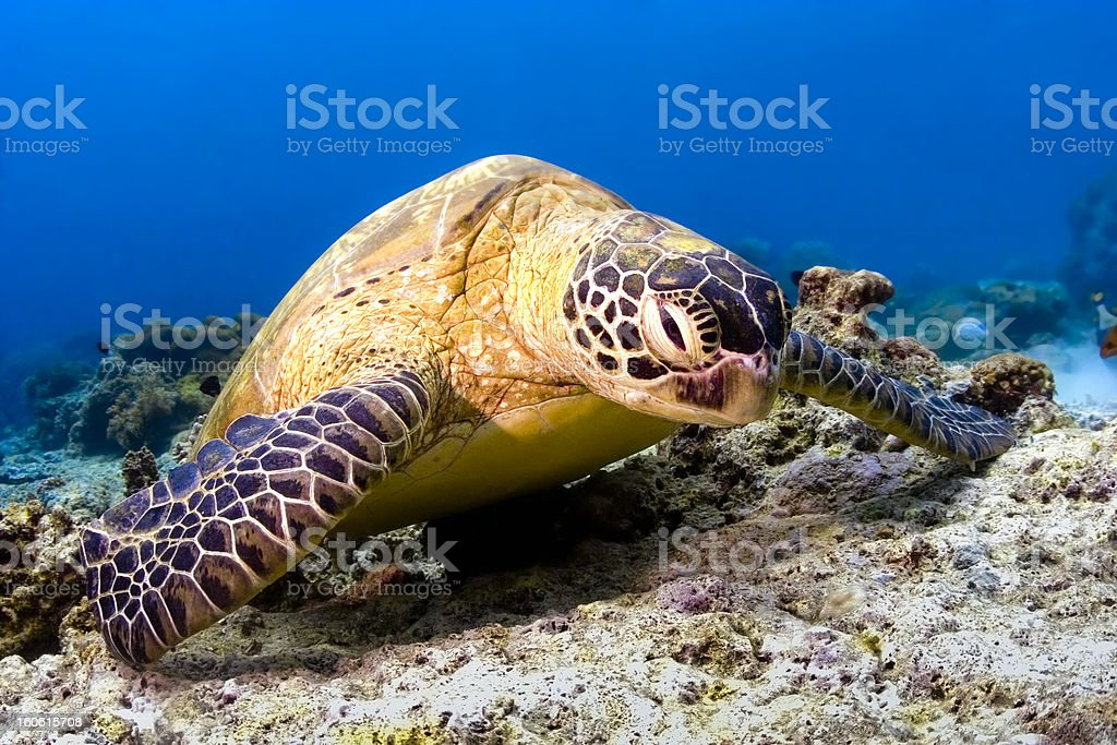 Turtle on reef royalty-free stock photo