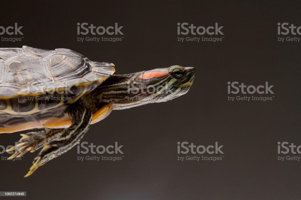 Turtle on Studio Background stock photo