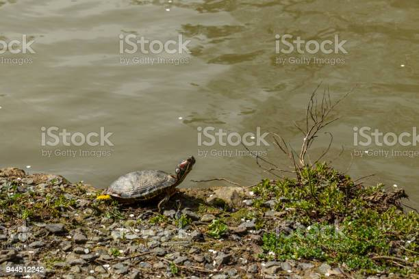Turtle on the edge of the creek picture id944512242?b=1&k=6&m=944512242&s=612x612&h=6kxcknpuyk2p6qgbmeoklbs0ezwnye9xv2onmmertgi=
