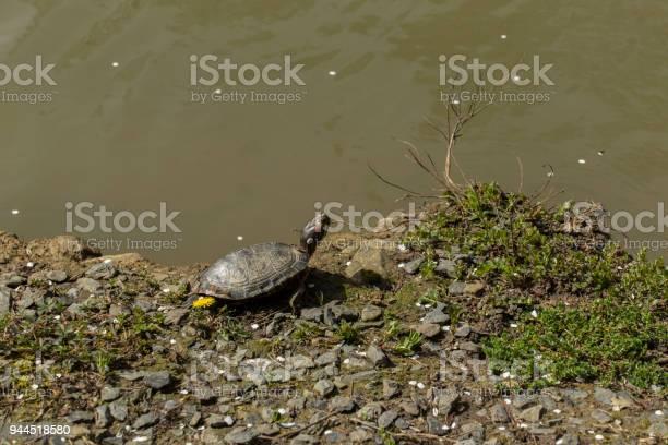 Turtle on the edge of the creek picture id944518580?b=1&k=6&m=944518580&s=612x612&h=e64g1xapozkt6nwhsbsd xg3bok3flxbaszoquc8z1e=