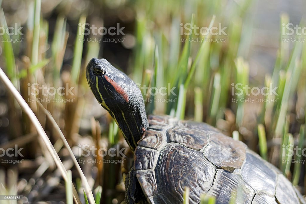 turtle on the lookout royalty-free stock photo