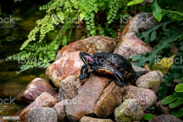Turtle on the rocks near the water picture id968014530?b=1&k=6&m=968014530&s=612x612&h=jrkm5l3kvekxjg0letgn vgyh9hczh6dlw5zalqfjbg=