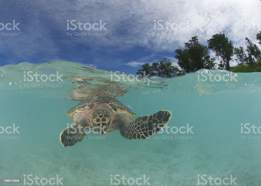 turtle on water surface royalty-free stock photo