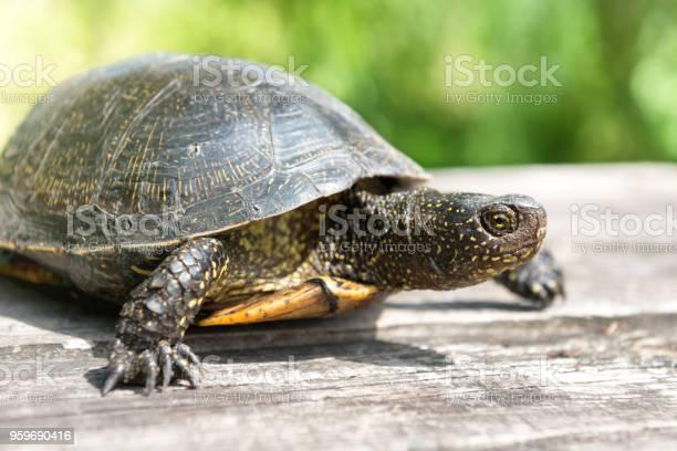 Turtle on wooden desk picture id959690416?b=1&k=6&m=959690416&s=612x612&h=dnkfipief2otxhszneijdzmwcycegs7nq5ozpdazan8=