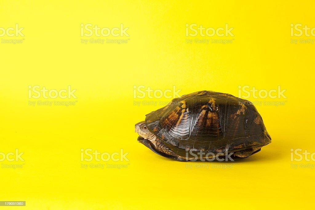 Turtle Spähen aus dem Außenmaterial – Foto