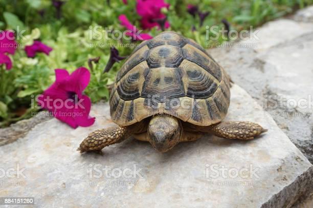 Turtle pet in home yard picture id884151260?b=1&k=6&m=884151260&s=612x612&h=3yhyyu 8wcb50oapivyqk8es6v9 2 ginofs7atf7ni=