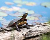 Painted turtle enjoying its surrounding.