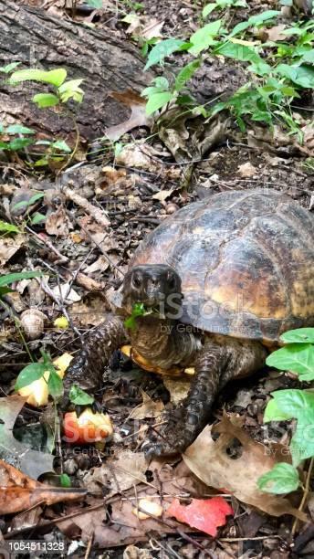 Turtle picture id1054511328?b=1&k=6&m=1054511328&s=612x612&h=qzirdg7k4uizves8lt00b 2rflbj7pohgx2s9icfqho=