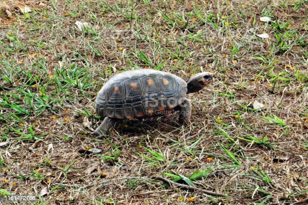 Turtle picture id1161472766?b=1&k=6&m=1161472766&s=612x612&h=usinyxqrokgzpn7re9i0l xdovgurbxyq276zshfkiu=