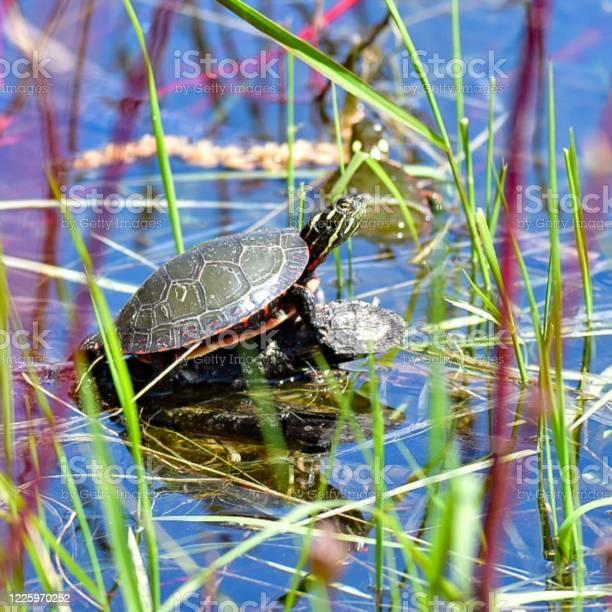 Turtle picture id1225970252?b=1&k=6&m=1225970252&s=612x612&h=lzjzbp6atybmlfz8s1v moz i0ygnuczfmwo1ovnyqk=