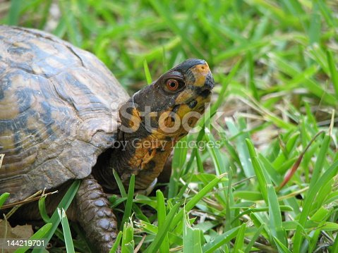 Box Turtle outside in the grass -  found this little guy wandering around my yard!