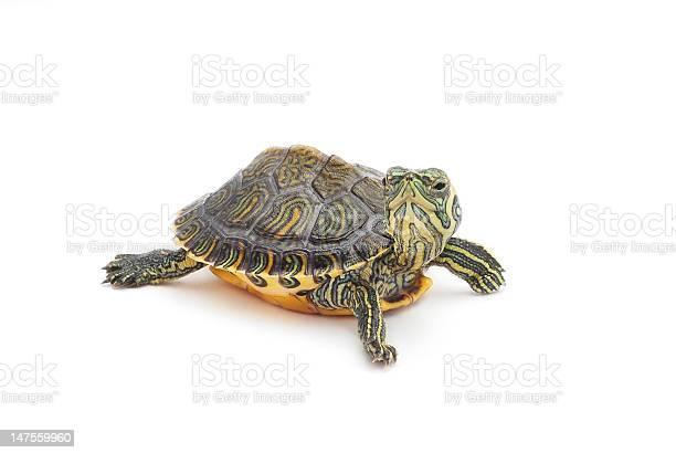 Turtle picture id147559960?b=1&k=6&m=147559960&s=612x612&h=edtzcx0hhzokh om7oqtliyeg5gqwsopwzaqn6yvhjs=