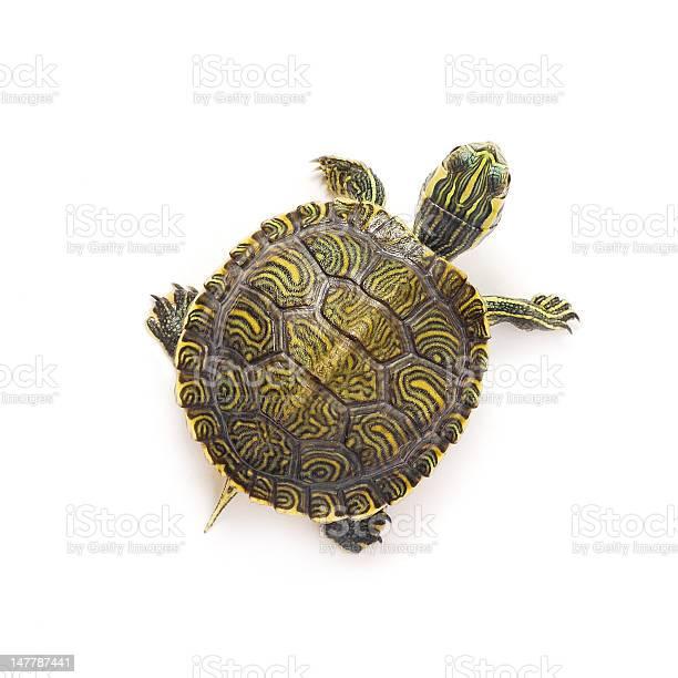 Turtle picture id147787441?b=1&k=6&m=147787441&s=612x612&h=sgjrsb7wbh3xzse8y5c172lnxrkwzr63z4tmcjsqur4=
