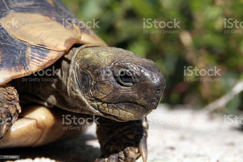 turtle royalty-free stock photo