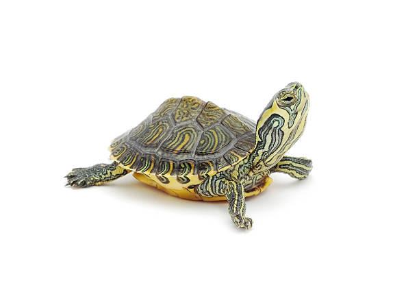 거북이 - 파충류 뉴스 사진 이미지