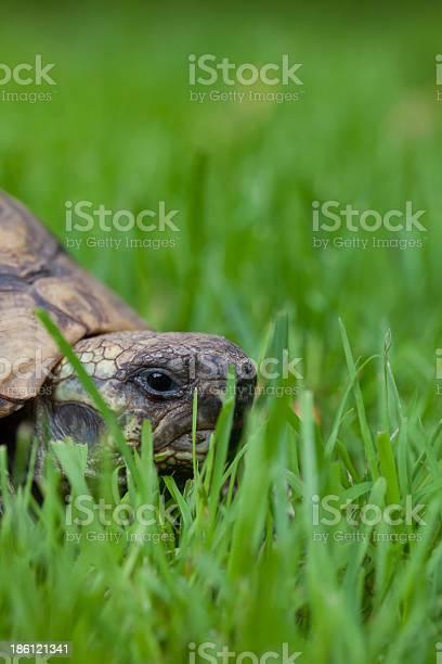 Turtle picture id186121341?b=1&k=6&m=186121341&s=612x612&h=7wcfw6ccaepffrxq8ucmnugemdqo9ynalnoxnq2h9ek=