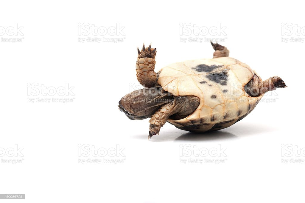 La tortuga - foto de stock