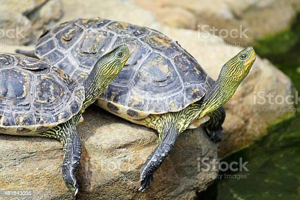 Turtle picture id461843035?b=1&k=6&m=461843035&s=612x612&h=nih4dw1hoxsphrsrrs1rfykp7botcagrscgvufrhms4=