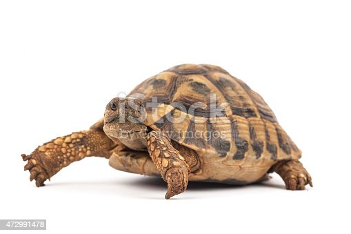 Turtle (Testudo hermanni) on the white background.