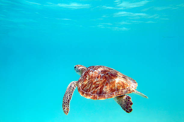 turtle - leatherback stockfoto's en -beelden