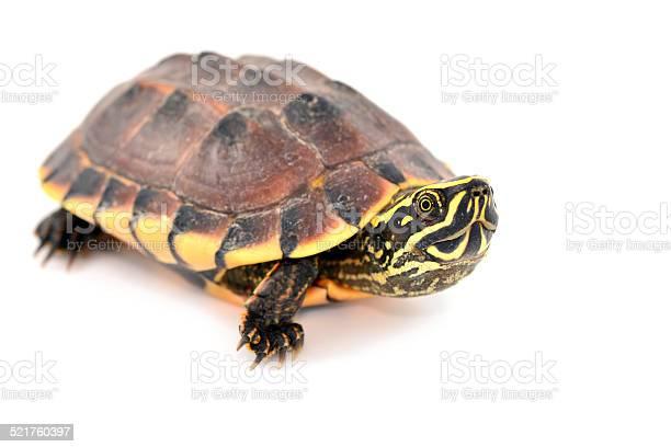 Turtle picture id521760397?b=1&k=6&m=521760397&s=612x612&h=rxt8mn9vzrycg33t9hyhsoeioiedu5g4un43cclaae8=