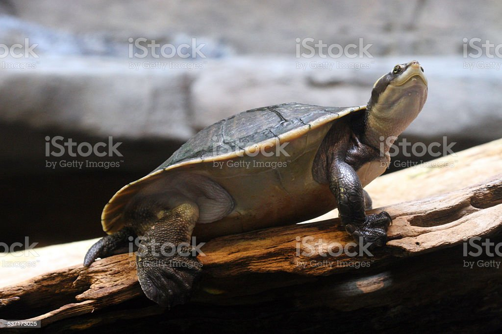 turtle small turtle in focus with a blurred background needs no description. 2015 Stock Photo