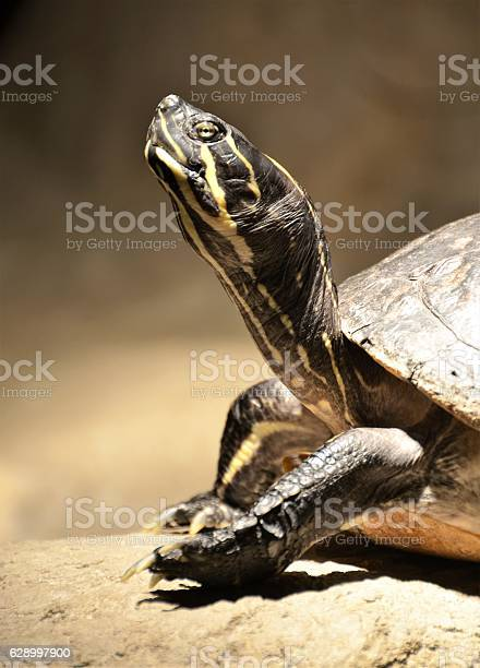 Turtle picture id628997900?b=1&k=6&m=628997900&s=612x612&h=e taklvw gwg jhphuovlwnnp4dxawwlog shqf2hz0=