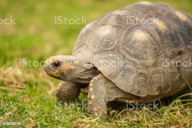 Turtle picture id915028376?b=1&k=6&m=915028376&s=612x612&h=8pue4dama9lr3n9xui4db7pjlhgccfebmvgmpxbyftg=
