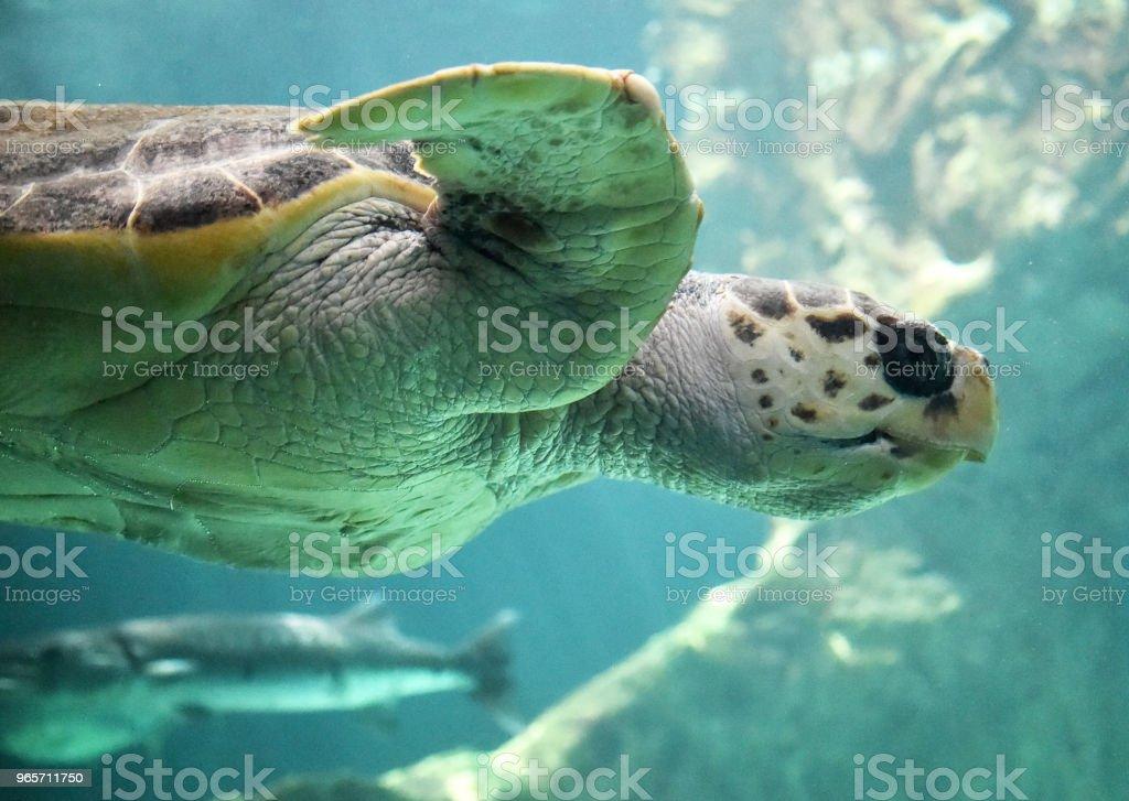 Turtle - Royalty-free Animal Stock Photo