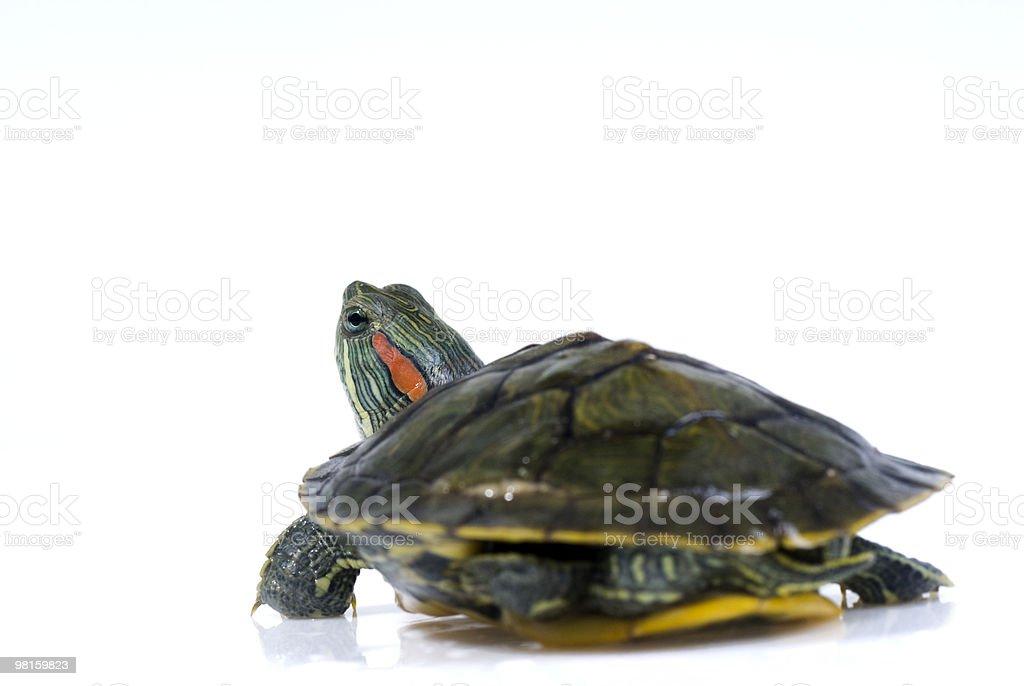 turtle royalty-free stock photo
