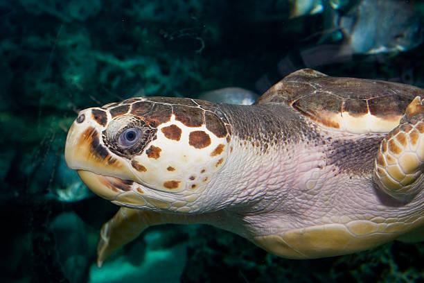 turtle portrait - leatherback mouth stockfoto's en -beelden