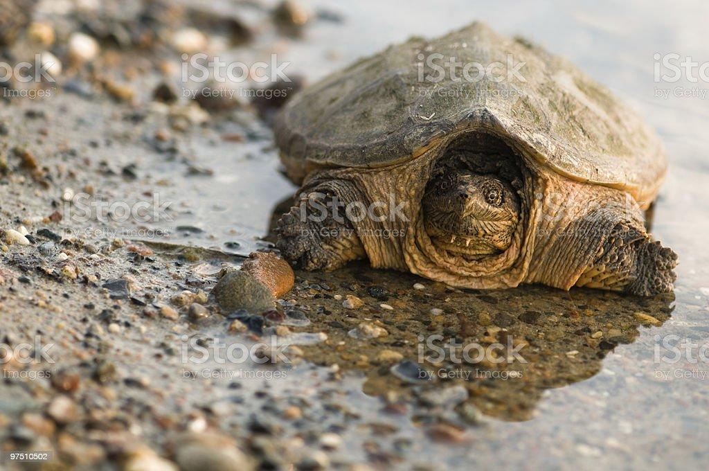 turtle reflection royalty-free stock photo