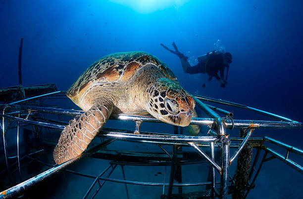 turtle resting on an artificial reef.  mabul, borneo (malaysia) - artificial reef stock pictures, royalty-free photos & images