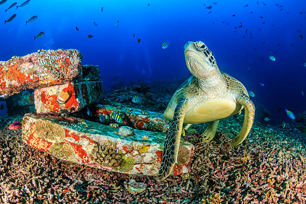 turtle resting on manmade blocks - artificial reef stock pictures, royalty-free photos & images
