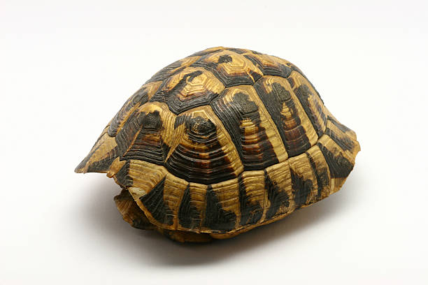 Royalty Free Turtle Shell Pictures, Images and Stock ...