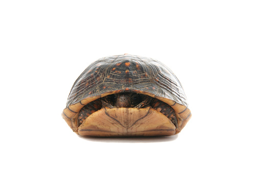 Box turtle hiding in his shell on a white background