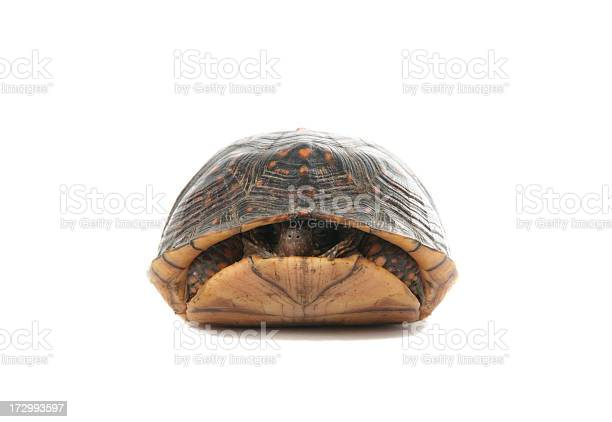 Turtle slightly poking his head out of his shell picture id172993597?b=1&k=6&m=172993597&s=612x612&h=ufbqjv3j7vjzlds4f9qvxgn8cuhrsvy dr7krn pdee=